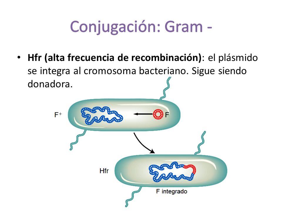 Conjugación: Gram - Hfr (alta frecuencia de recombinación): el plásmido se integra al cromosoma bacteriano.