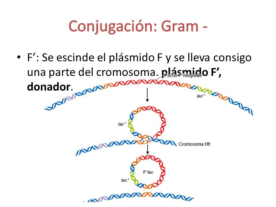 Conjugación: Gram - F': Se escinde el plásmido F y se lleva consigo una parte del cromosoma.