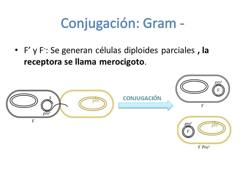 Conjugación: Gram - F' y F-: Se generan células diploides parciales , la receptora se llama merocigoto.