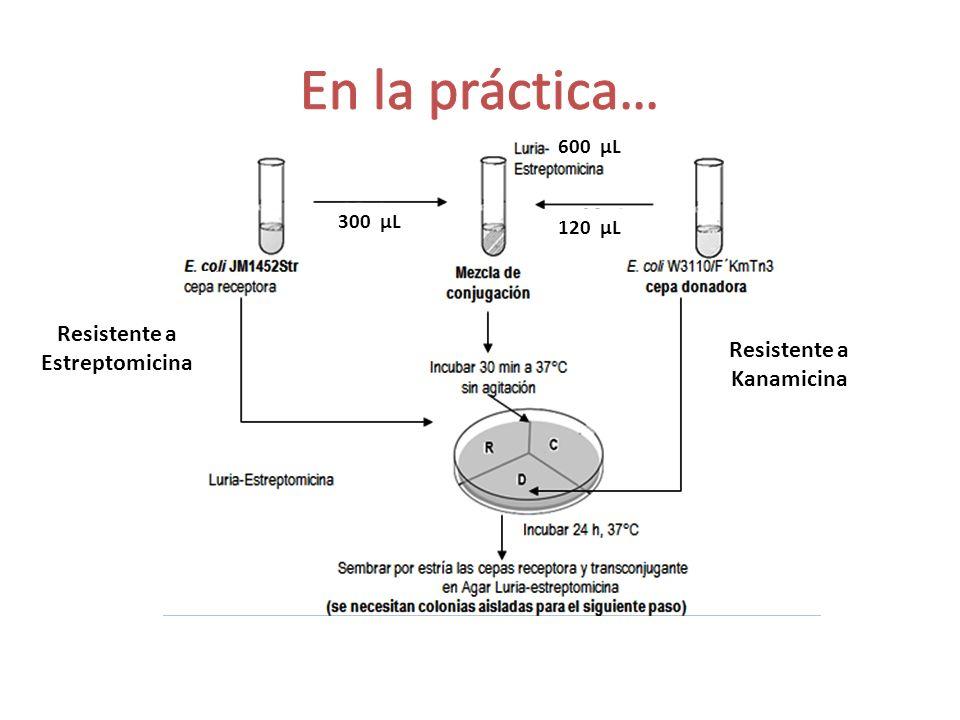 Resistente a Estreptomicina Resistente a Kanamicina