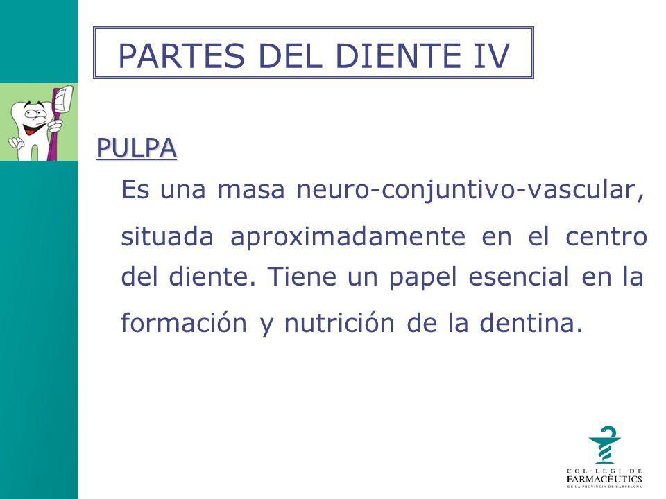 PARTES DEL DIENTE IV PULPA Es una masa neuro-conjuntivo-vascular,