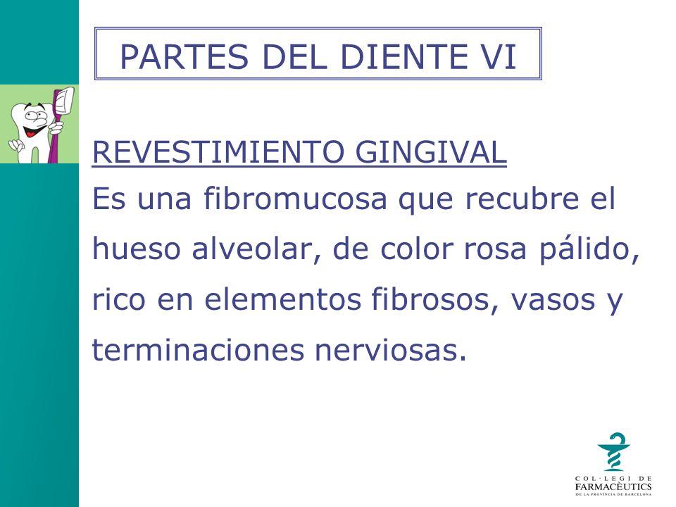 PARTES DEL DIENTE VI REVESTIMIENTO GINGIVAL