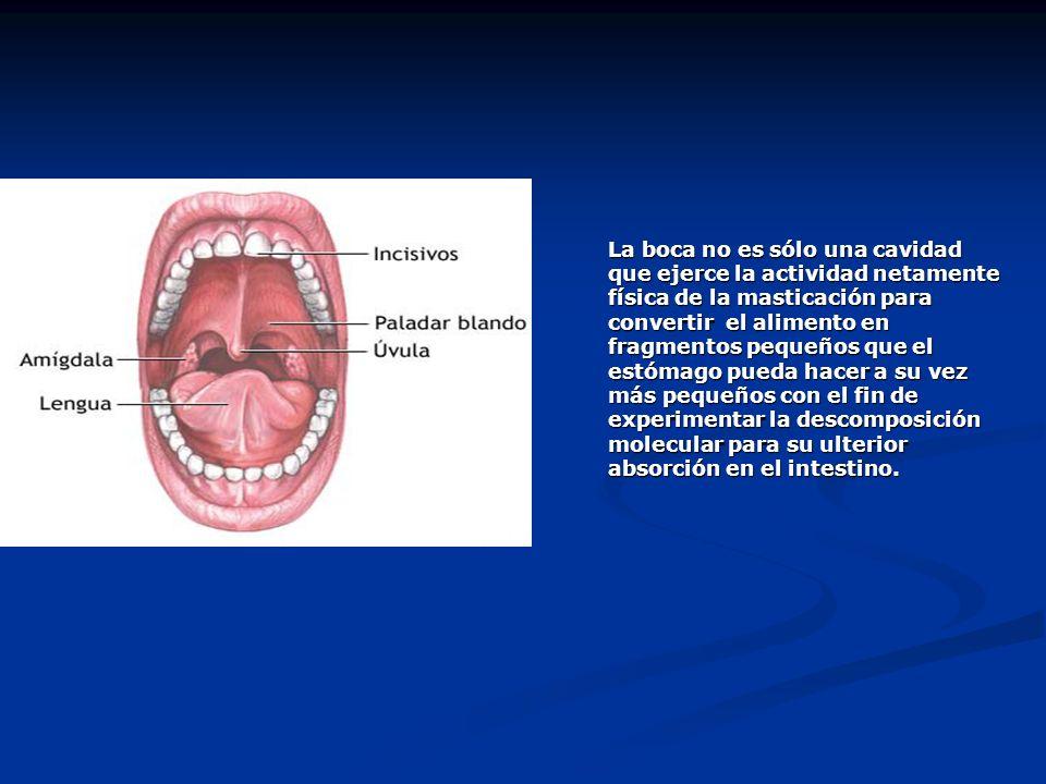 La boca no es sólo una cavidad que ejerce la actividad netamente física de la masticación para convertir el alimento en fragmentos pequeños que el estómago pueda hacer a su vez más pequeños con el fin de experimentar la descomposición molecular para su ulterior absorción en el intestino.