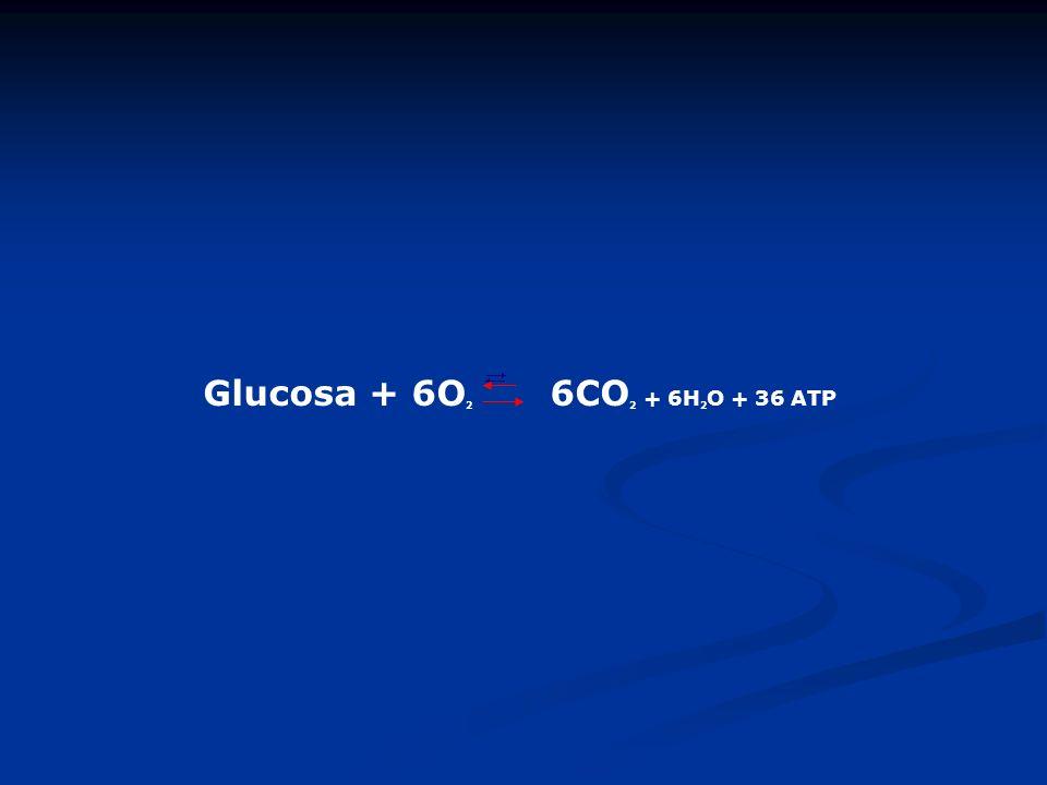 Glucosa + 6O2 6CO2 + 6H2O + 36 ATP
