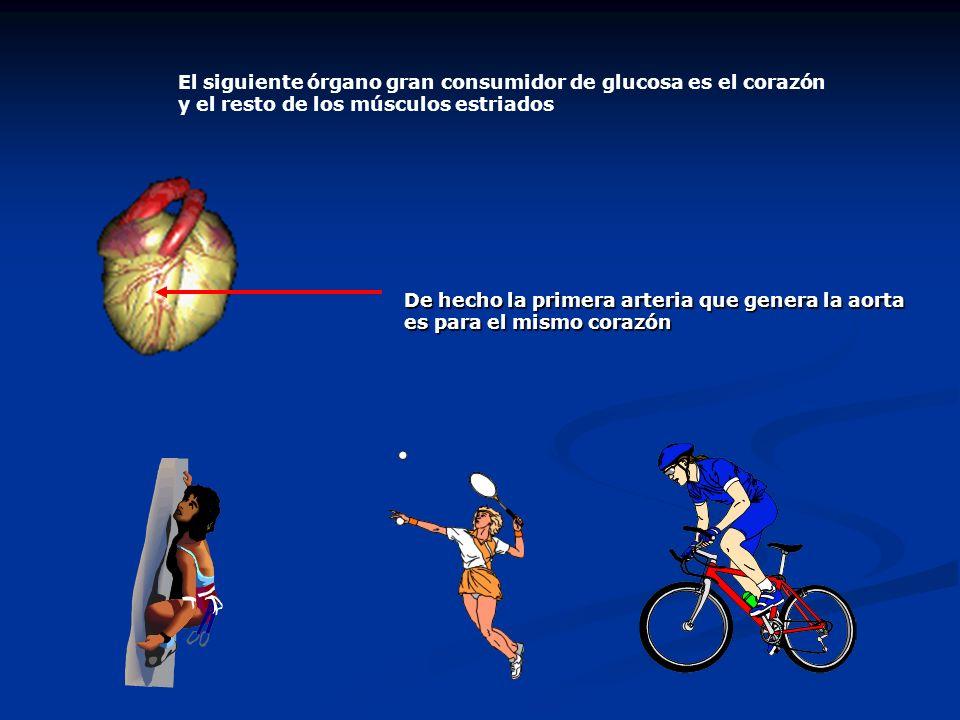 El siguiente órgano gran consumidor de glucosa es el corazón y el resto de los músculos estriados