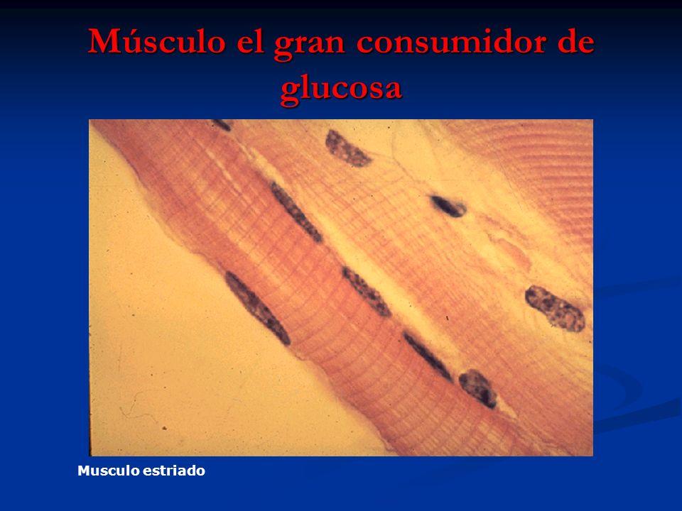 Músculo el gran consumidor de glucosa