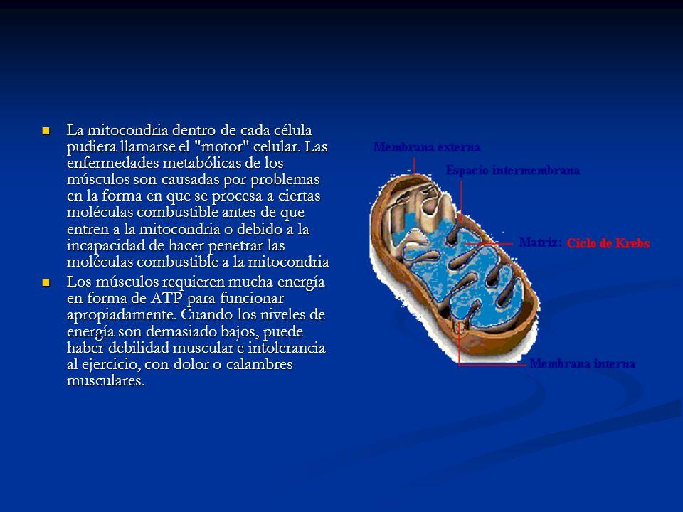 La mitocondria dentro de cada célula pudiera llamarse el motor celular. Las enfermedades metabólicas de los músculos son causadas por problemas en la forma en que se procesa a ciertas moléculas combustible antes de que entren a la mitocondria o debido a la incapacidad de hacer penetrar las moléculas combustible a la mitocondria