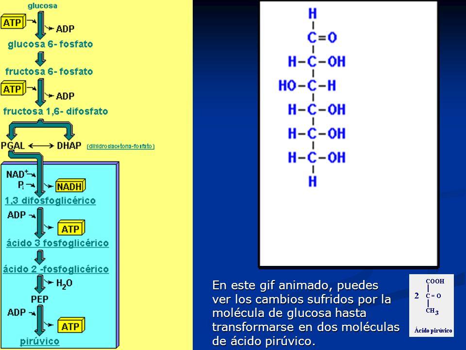 En este gif animado, puedes ver los cambios sufridos por la molécula de glucosa hasta transformarse en dos moléculas de ácido pirúvico.