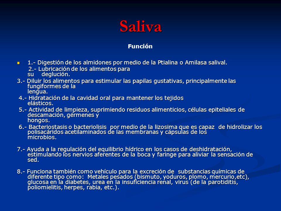 Saliva Función. 1.- Digestión de los almidones por medio de la Ptialina o Amilasa salival.