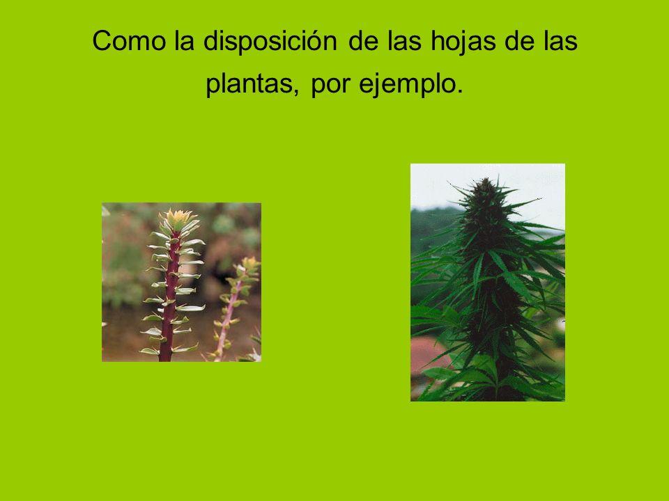 Como la disposición de las hojas de las plantas, por ejemplo.