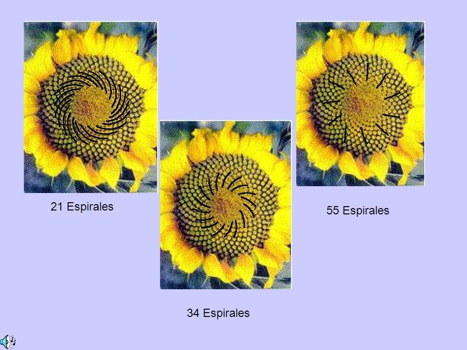 21 Espirales 55 Espirales 34 Espirales