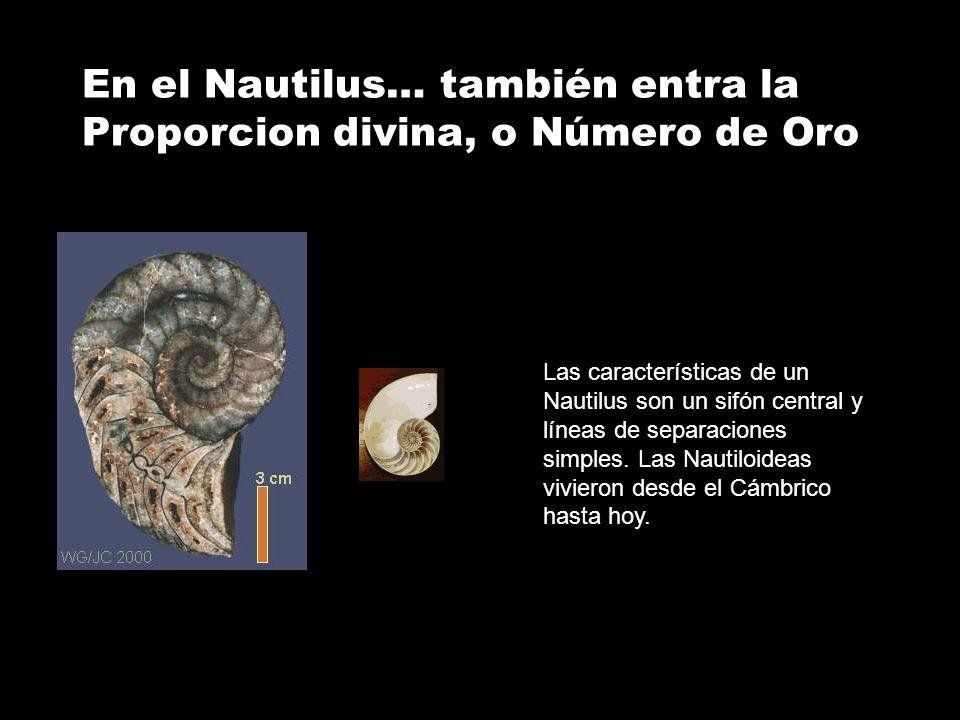 En el Nautilus… también entra la Proporcion divina, o Número de Oro