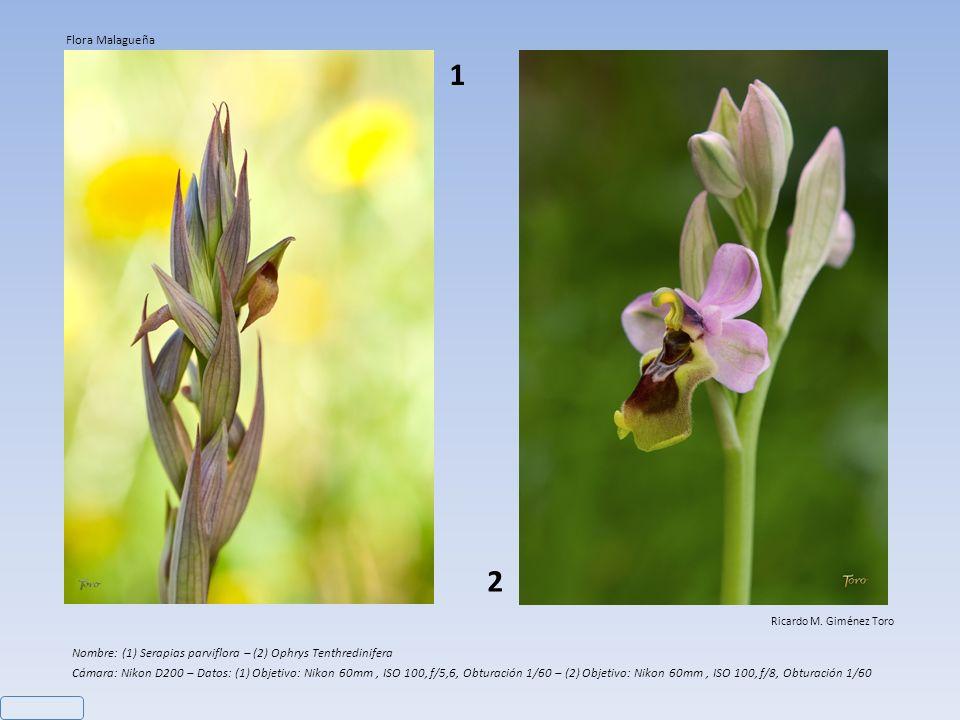 Flora Malagueña 1. 2. Ricardo M. Giménez Toro. Nombre: (1) Serapias parviflora – (2) Ophrys Tenthredinifera.