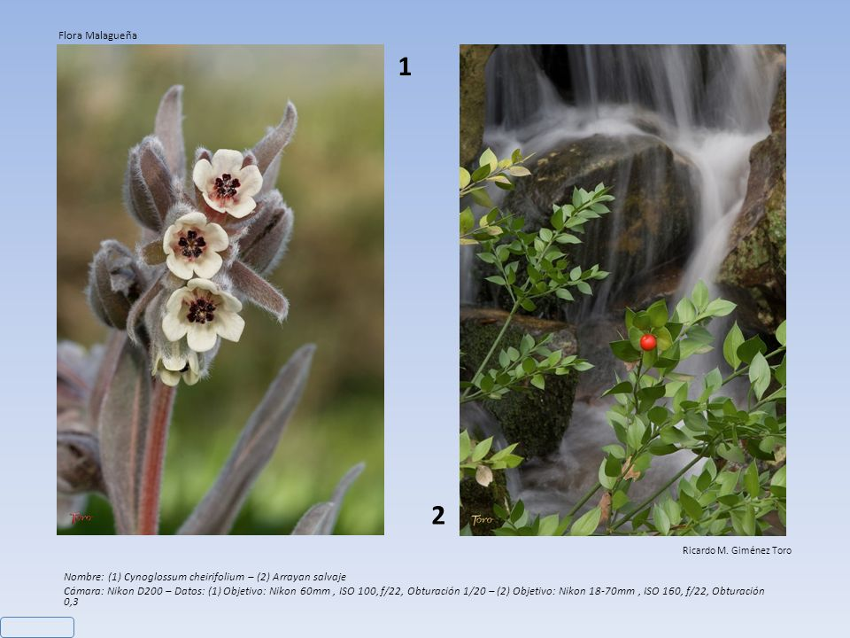 Flora Malagueña 1. 2. Ricardo M. Giménez Toro. Nombre: (1) Cynoglossum cheirifolium – (2) Arrayan salvaje.