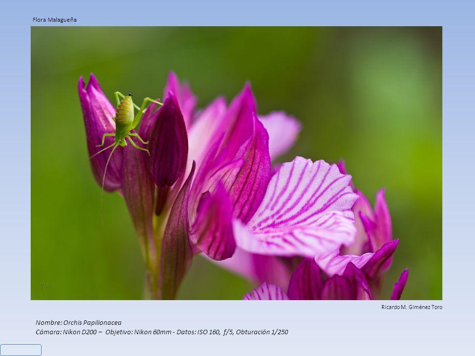 Nombre: Orchis Papilionacea