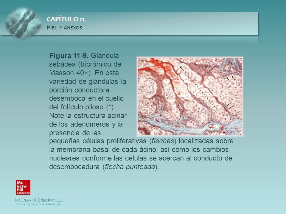 Figura 11-9. Glándula sebácea (tricrómico de Masson 40×)