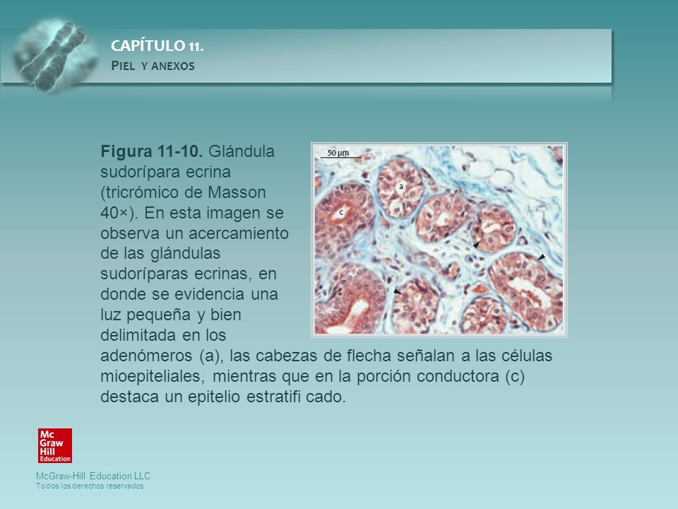Figura 11-10. Glándula sudorípara ecrina (tricrómico de Masson