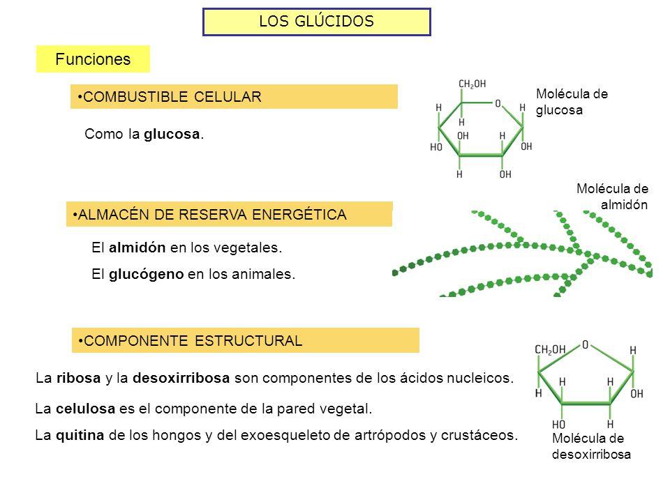 Funciones LOS GLÚCIDOS COMBUSTIBLE CELULAR Como la glucosa.