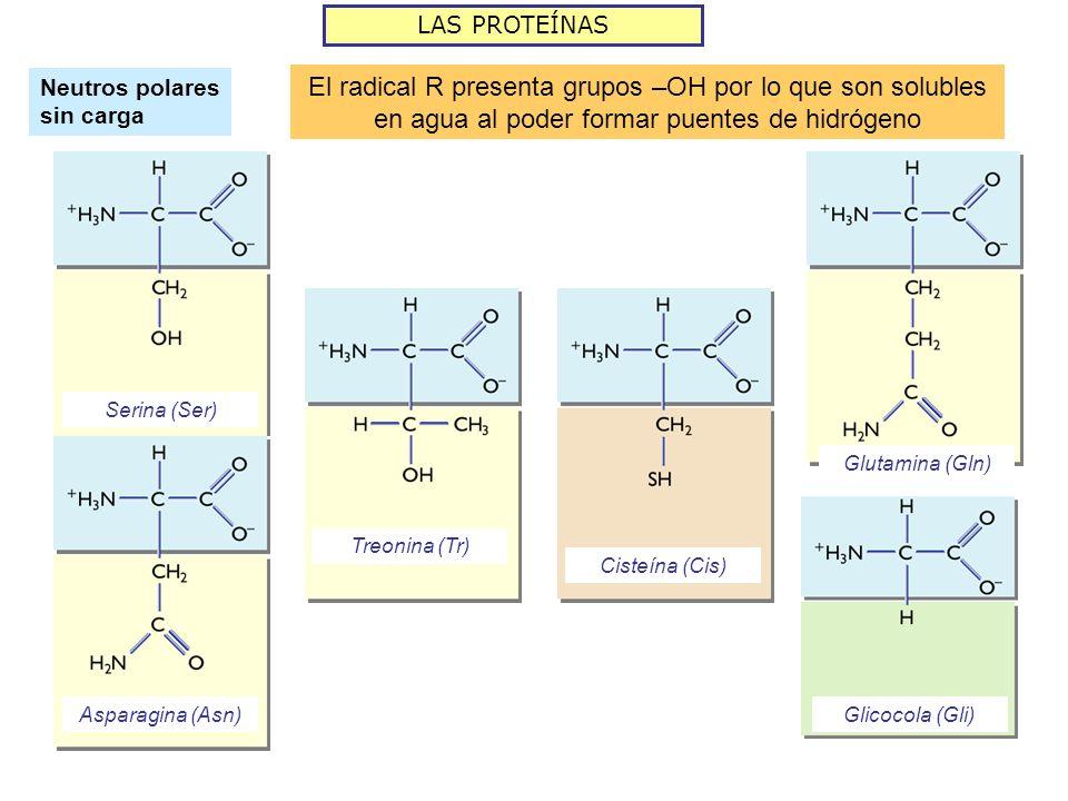 LAS PROTEÍNAS Neutros polares sin carga. El radical R presenta grupos –OH por lo que son solubles en agua al poder formar puentes de hidrógeno.