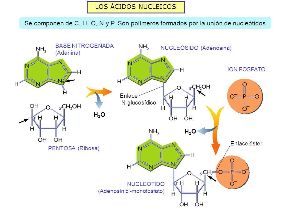 LOS ÁCIDOS NUCLEICOSSe componen de C, H, O, N y P. Son polímeros formados por la unión de nucleótidos.