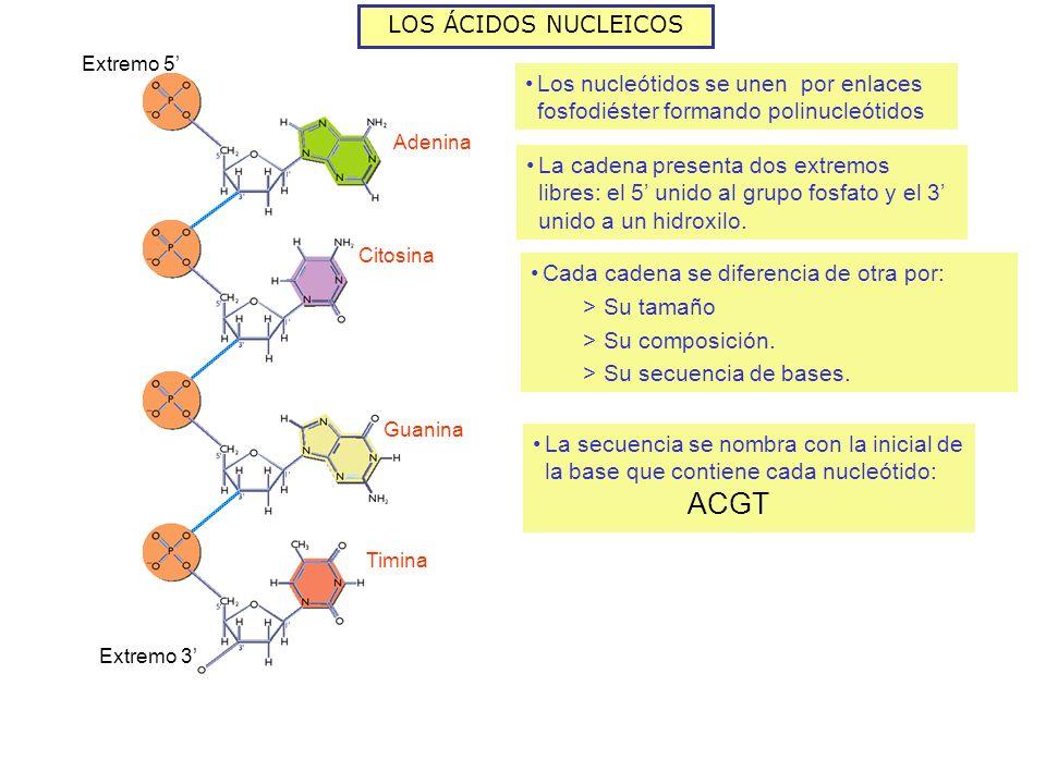 ACGT LOS ÁCIDOS NUCLEICOS