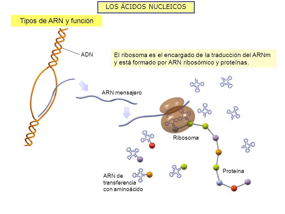 Tipos de ARN y función LOS ÁCIDOS NUCLEICOS