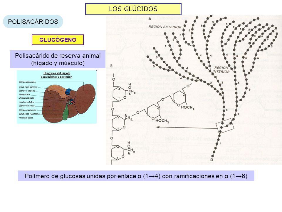 Polisacárido de reserva animal (hígado y músculo)