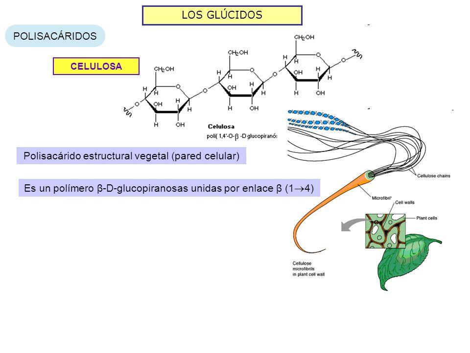 Polisacárido estructural vegetal (pared celular)