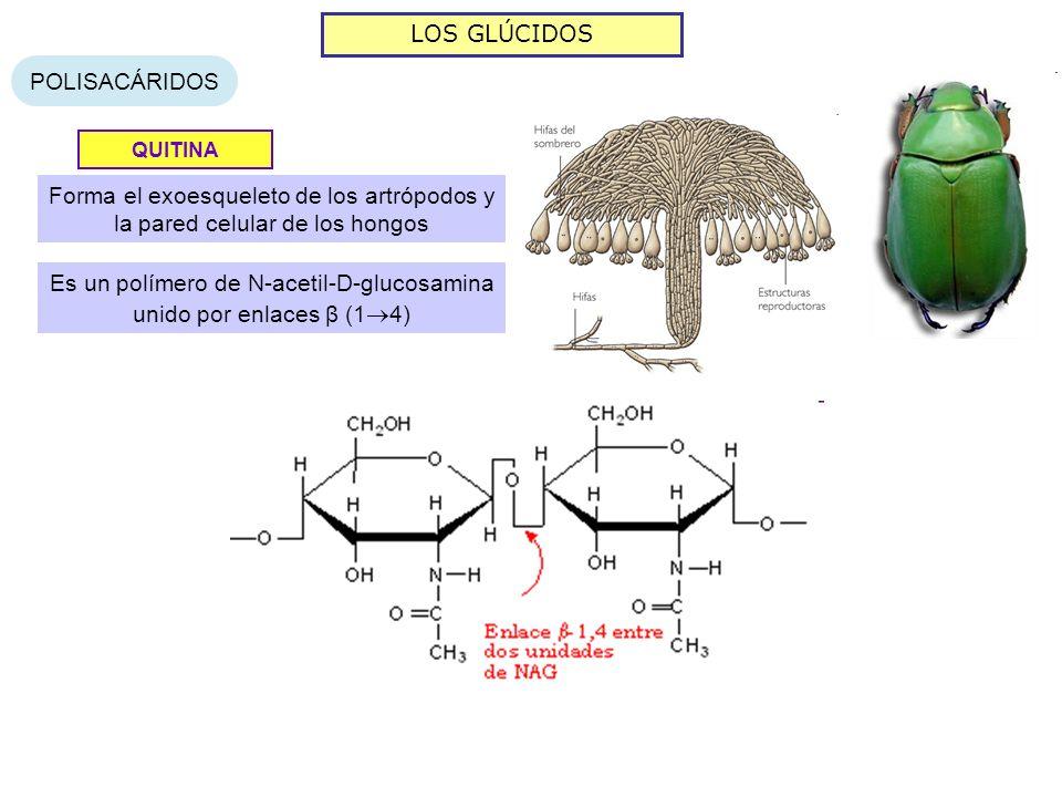 Es un polímero de N-acetil-D-glucosamina unido por enlaces β (14)