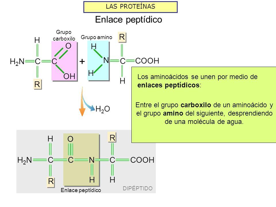 + Enlace peptídico R H COOH N C C H R H2N OH O H R C H2N O COOH N H2O