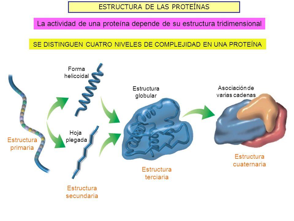 La actividad de una proteína depende de su estructura tridimensional