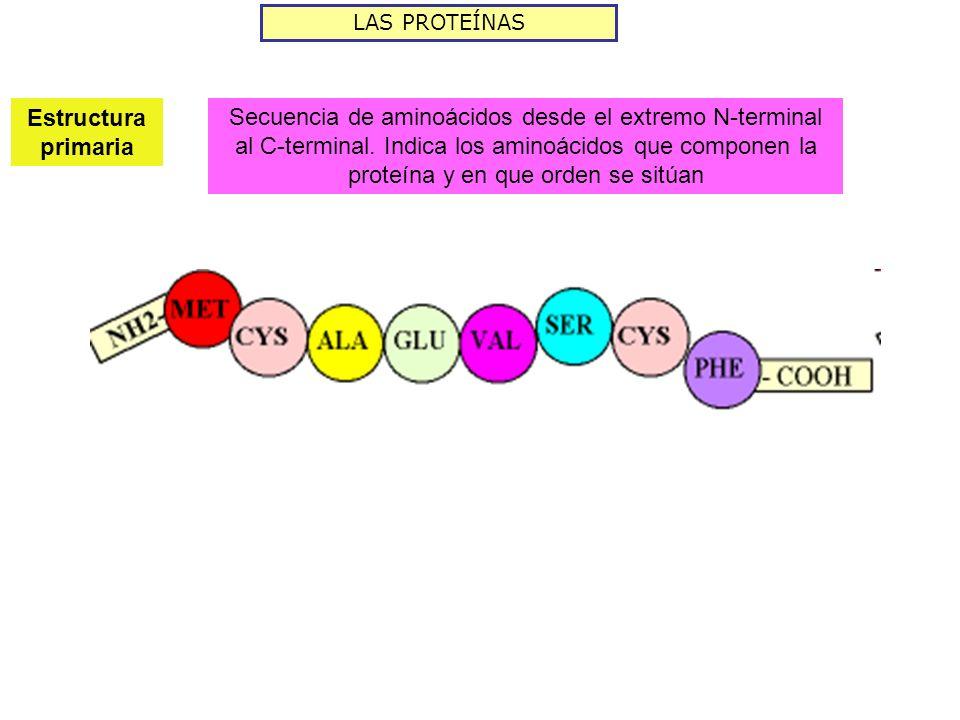 LAS PROTEÍNAS Estructura primaria.