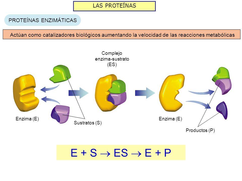 E + S  ES  E + P LAS PROTEÍNAS PROTEÍNAS ENZIMÁTICAS