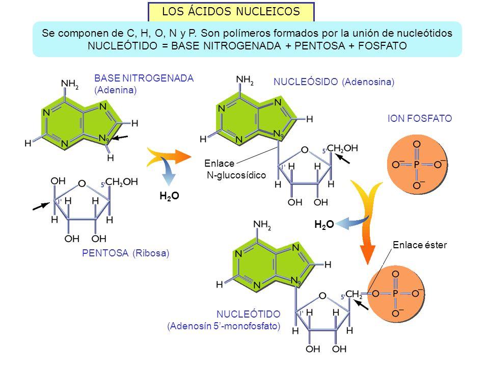 NUCLEÓTIDO = BASE NITROGENADA + PENTOSA + FOSFATO
