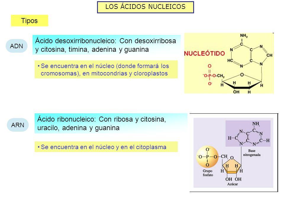 Ácido ribonucleico: Con ribosa y citosina, uracilo, adenina y guanina