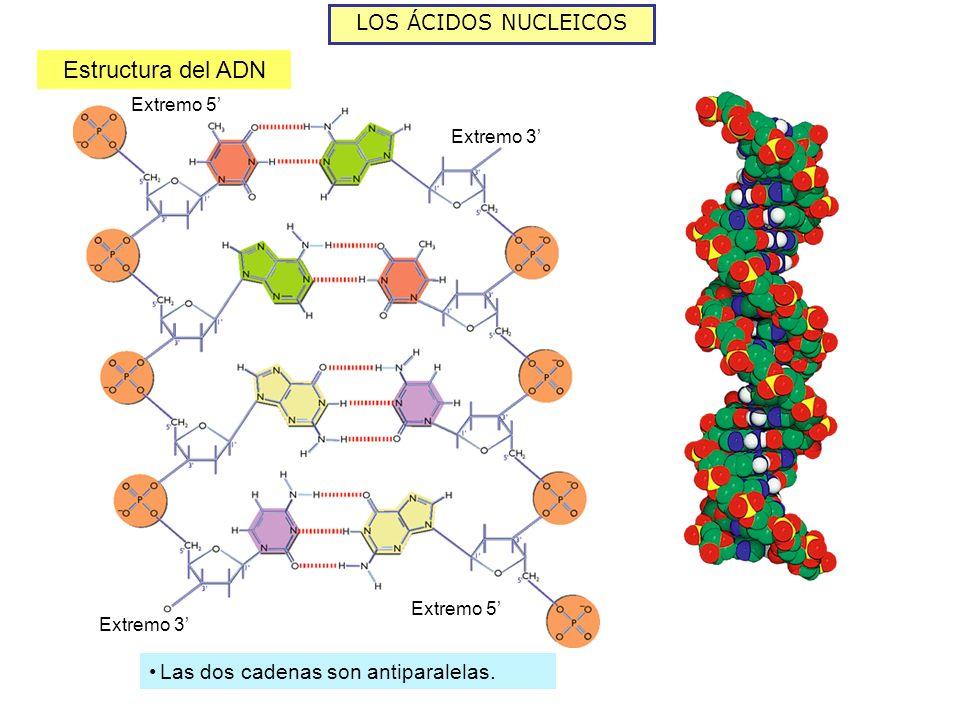 Estructura del ADN LOS ÁCIDOS NUCLEICOS
