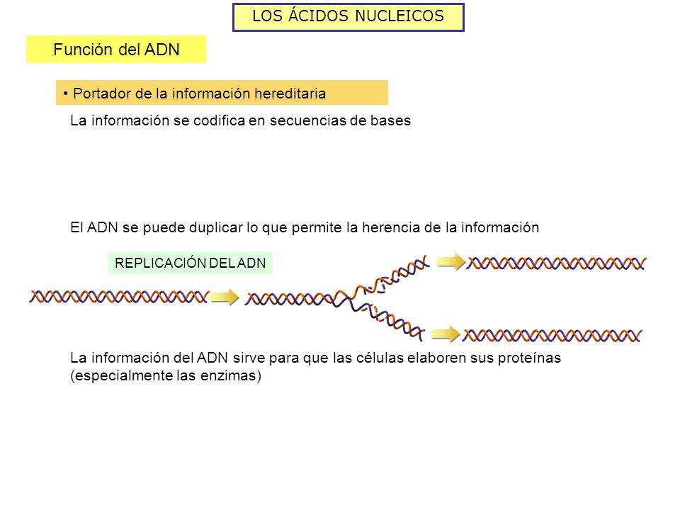 Función del ADN LOS ÁCIDOS NUCLEICOS