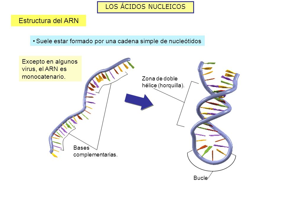 Estructura del ARN LOS ÁCIDOS NUCLEICOS