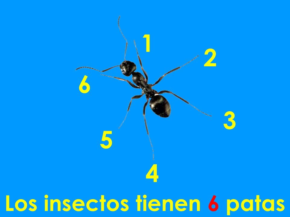 Los insectos tienen 6 patas