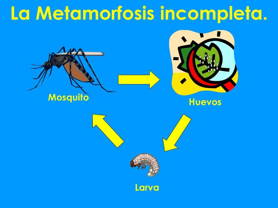 La Metamorfosis incompleta.