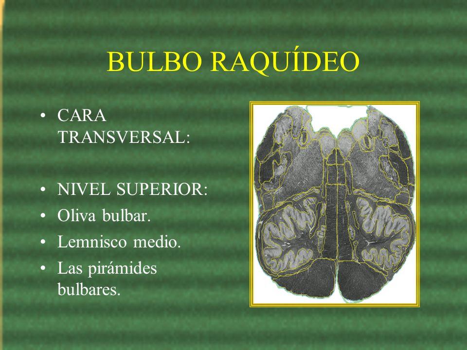BULBO RAQUÍDEO CARA TRANSVERSAL: NIVEL SUPERIOR: Oliva bulbar.