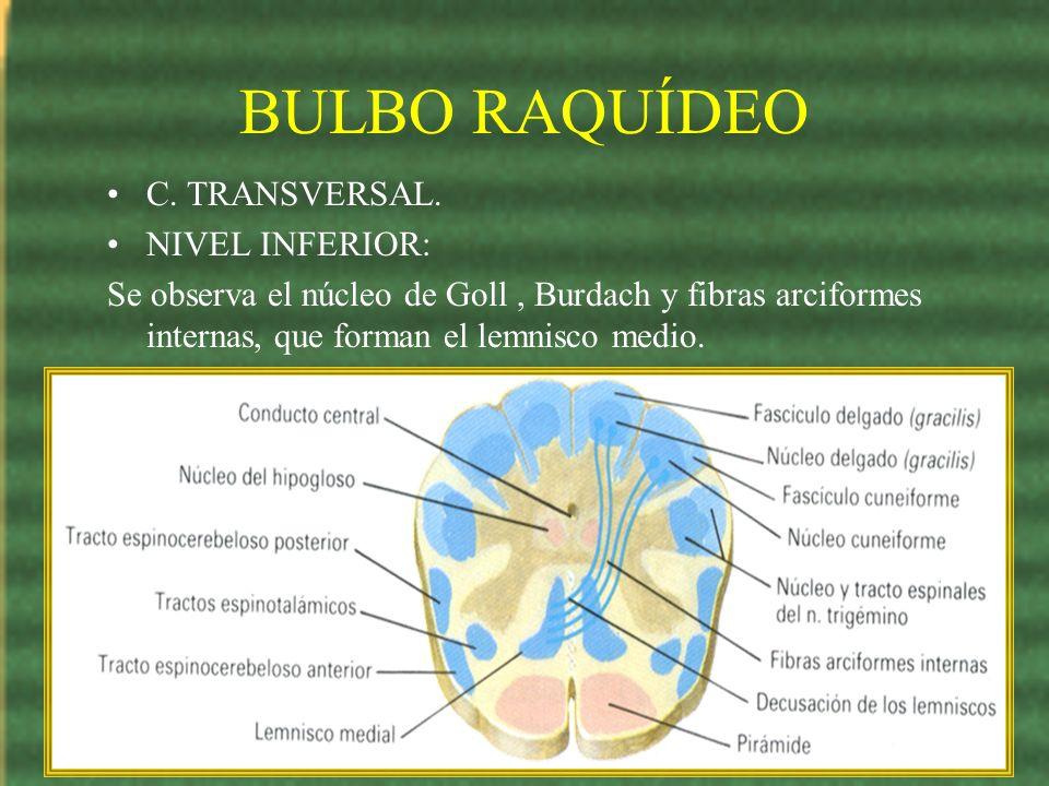BULBO RAQUÍDEO C. TRANSVERSAL. NIVEL INFERIOR:
