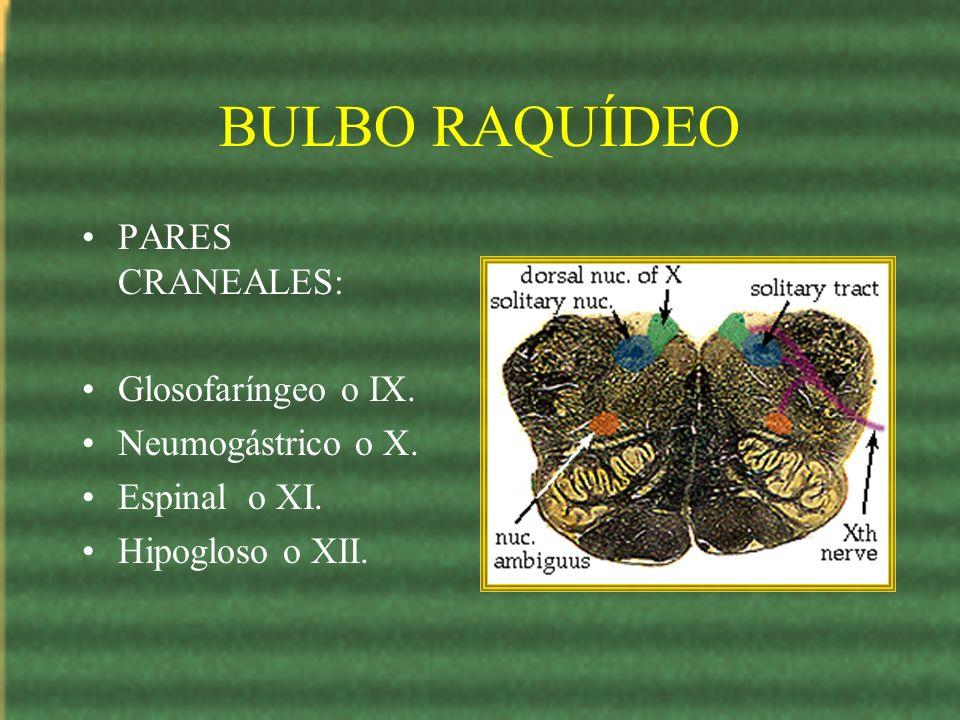 BULBO RAQUÍDEO PARES CRANEALES: Glosofaríngeo o IX. Neumogástrico o X.