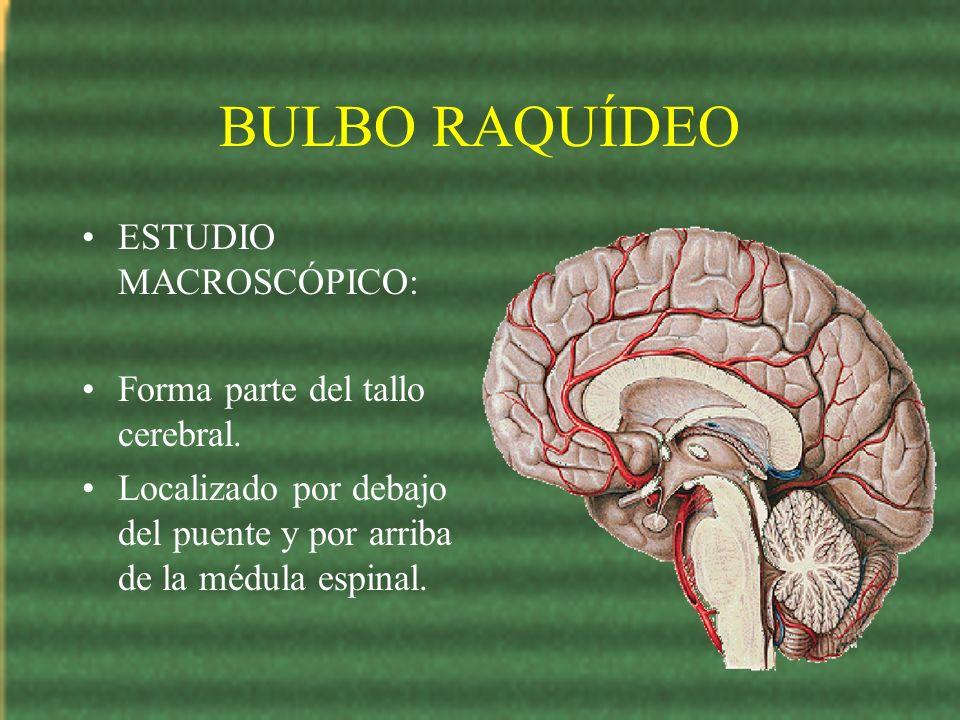 BULBO RAQUÍDEO ESTUDIO MACROSCÓPICO: Forma parte del tallo cerebral.
