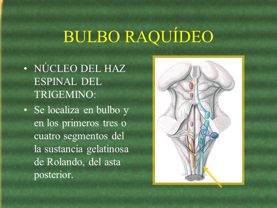BULBO RAQUÍDEO NÚCLEO DEL HAZ ESPINAL DEL TRIGEMINO: