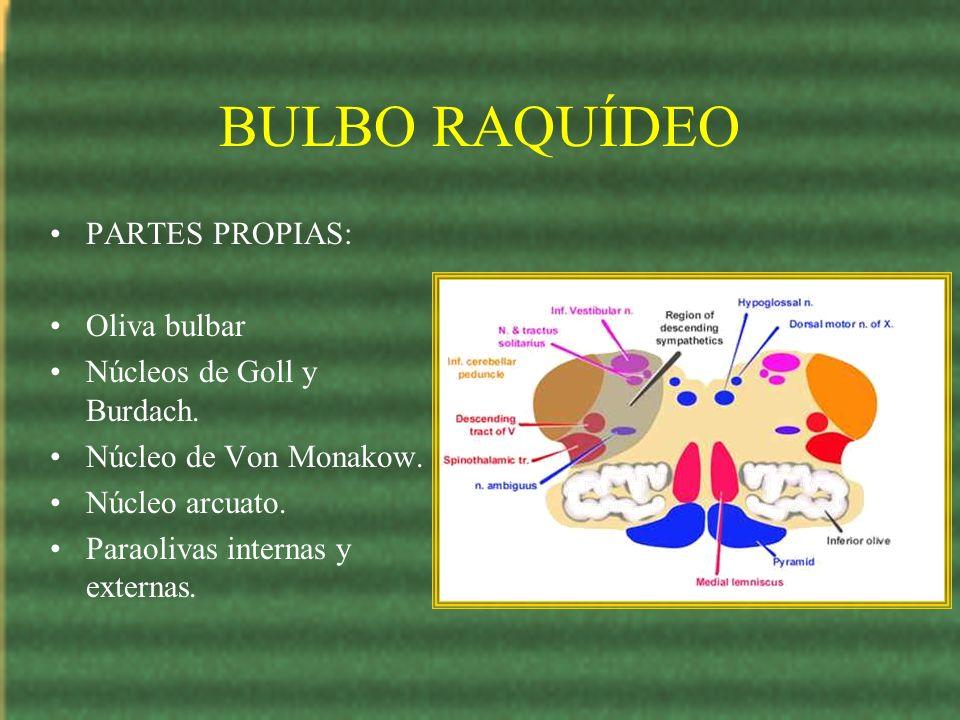 BULBO RAQUÍDEO PARTES PROPIAS: Oliva bulbar Núcleos de Goll y Burdach.