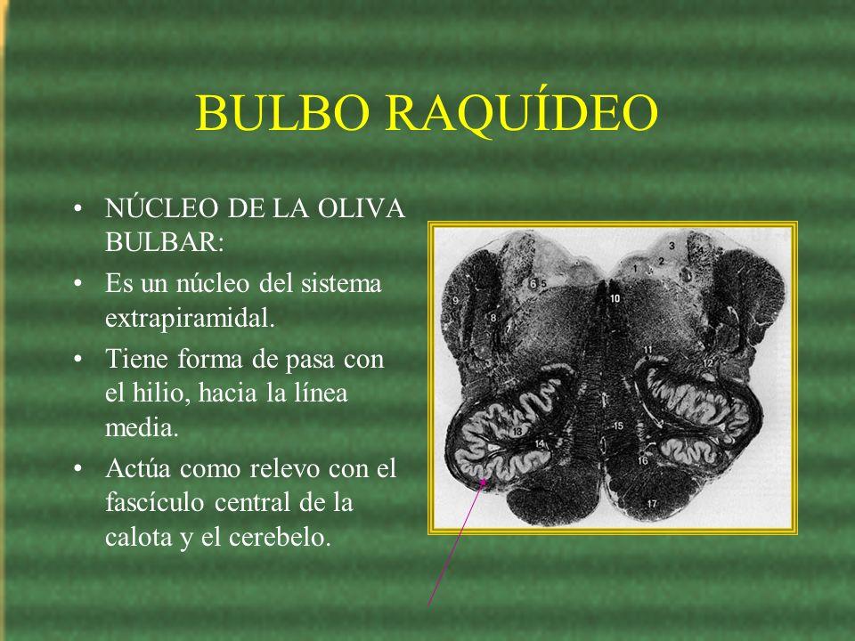 BULBO RAQUÍDEO NÚCLEO DE LA OLIVA BULBAR: