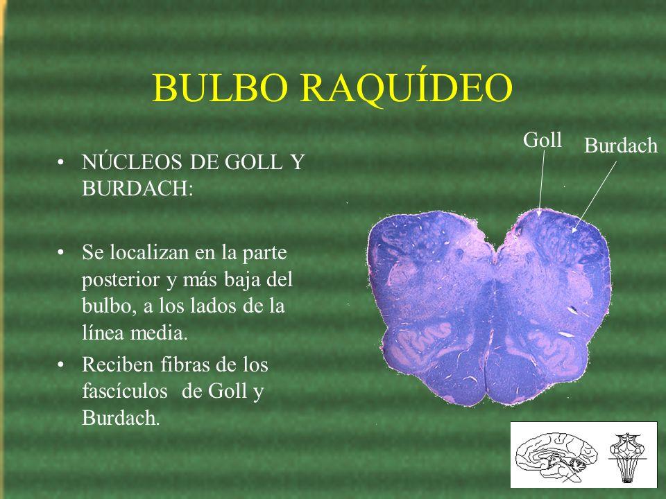 BULBO RAQUÍDEO Goll Burdach NÚCLEOS DE GOLL Y BURDACH: