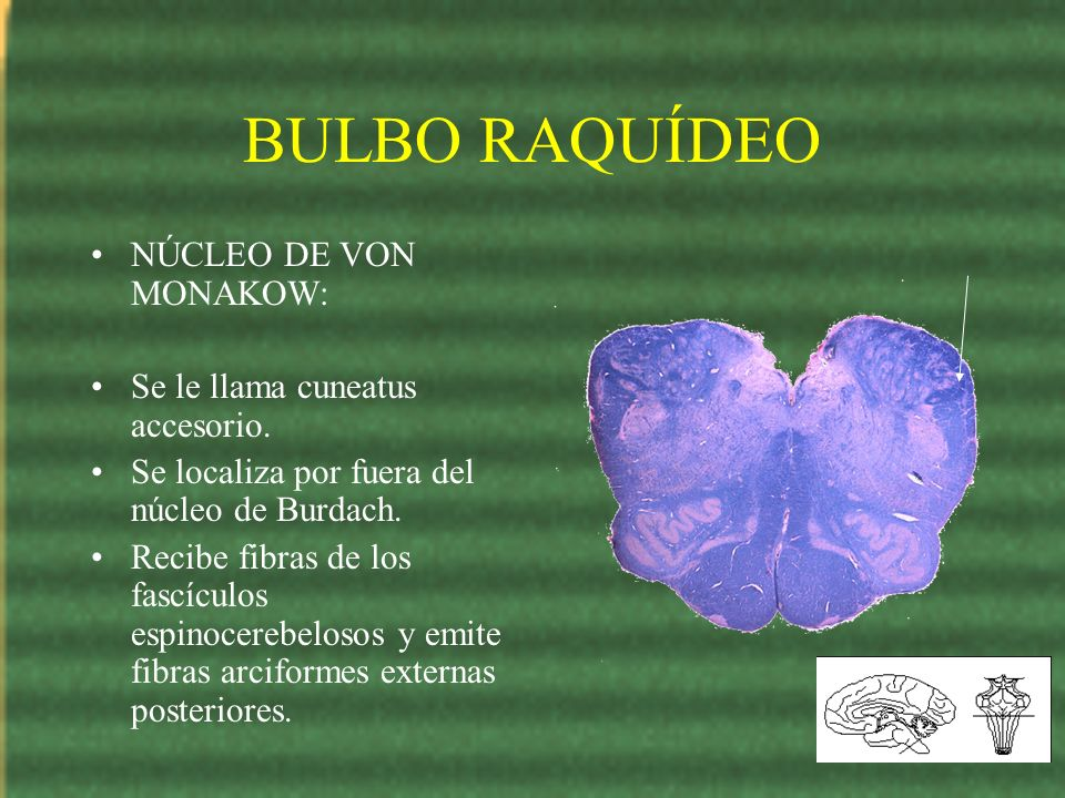 BULBO RAQUÍDEO NÚCLEO DE VON MONAKOW: Se le llama cuneatus accesorio.