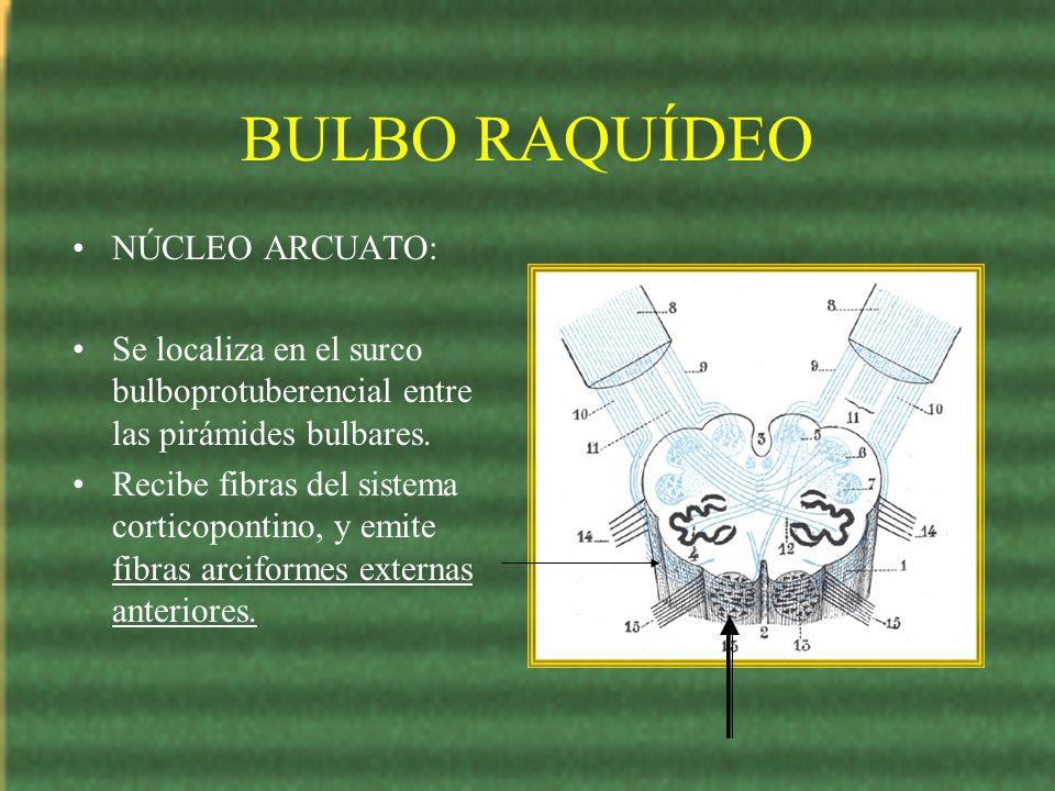 BULBO RAQUÍDEO NÚCLEO ARCUATO: